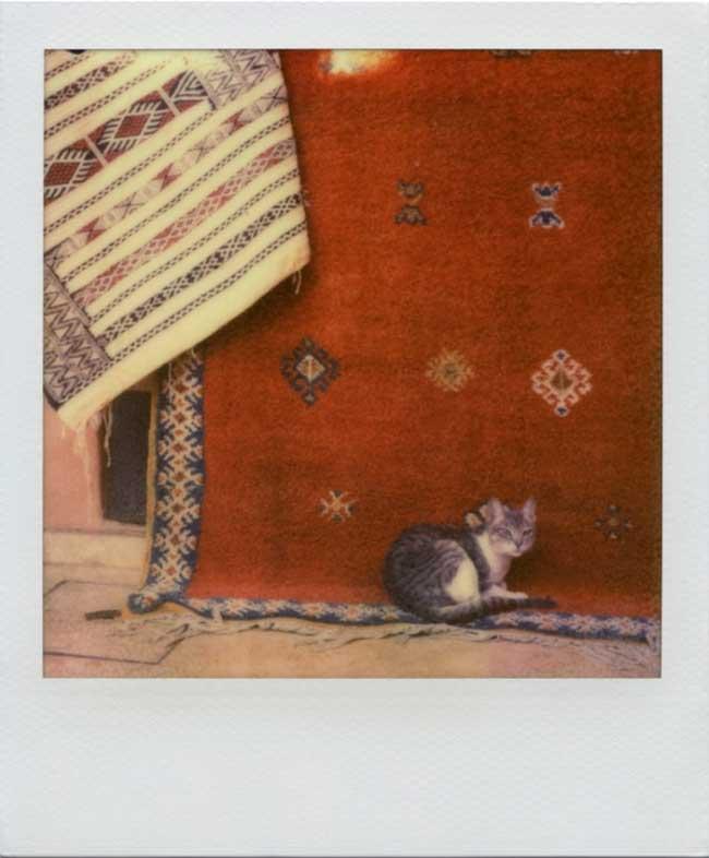 Bri_Mor_Moroccan_cat_2012