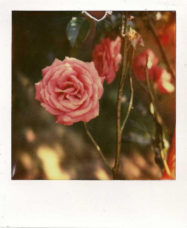 Ben_Inno_roses_2012
