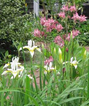 Columbine_whiteiris1