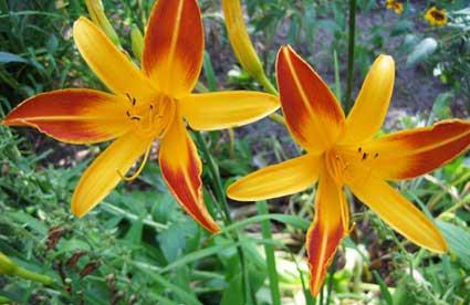 IMG_0616twocolorlilies