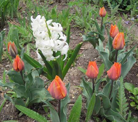 IMG_0920hyacinth-tulips