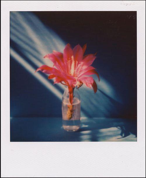 Sekiguchi_cactus_flower