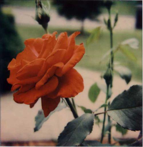 Brock_Red_Summer_Rose