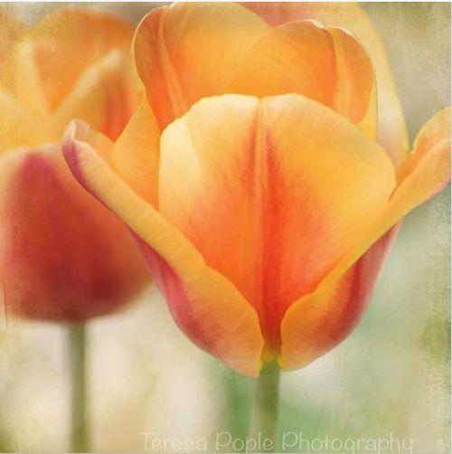 Pople_Tulips