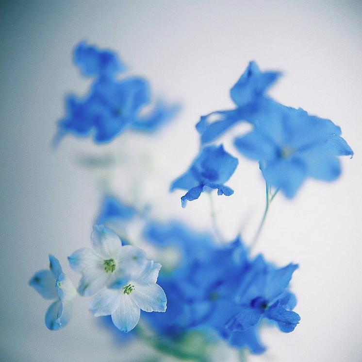 KumikoSeki_delphiniums