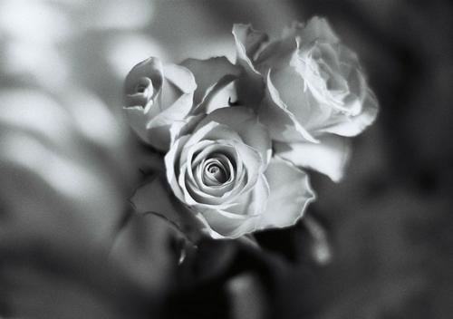 KS_roses_BW