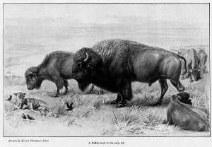 Ets_buffalo_1