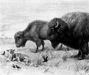 Ets_buffalo_1x
